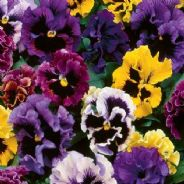 Pansy Frizzle Sizzle Mix - 25 seeds
